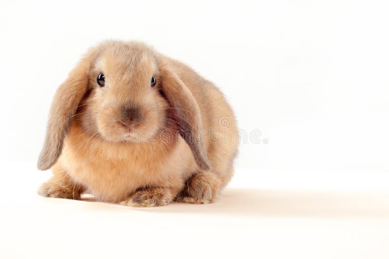 在白色背景隔绝的一点兔宝宝 小的兔子 免版税库存照片