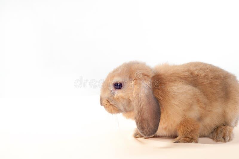 在白色背景隔绝的一点兔宝宝 小的兔子 图库摄影