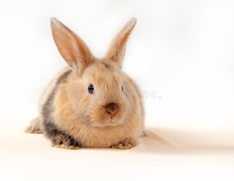 在白色背景隔绝的一点兔宝宝 小的兔子 库存图片