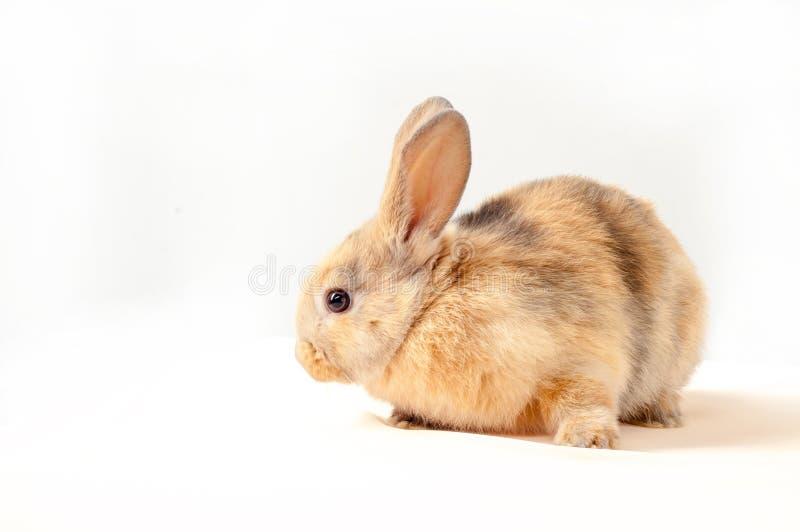 在白色背景隔绝的一点兔宝宝 小的兔子 库存照片