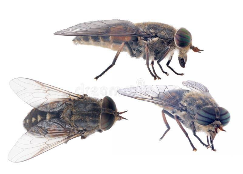在白色背景隔绝的三只苍白巨型马蝇 免版税库存照片