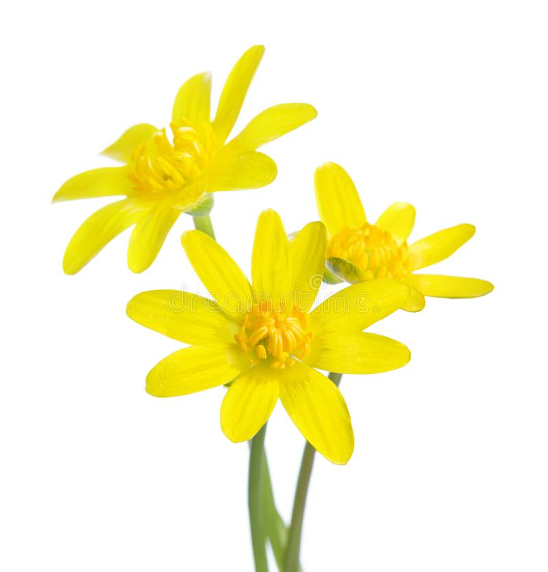 在白色背景隔绝的三朵早期的春天花 Kingcup 库存照片