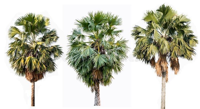 在白色背景隔绝的三棵棕榈树 库存图片