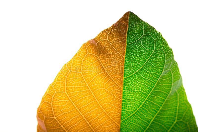 在白色背景隔绝的两种颜色的口气叶子 季节变动概念 库存图片