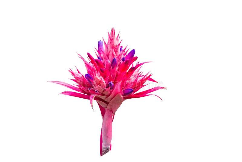 在白色背景隔绝的五颜六色桃红色Bromeliad花 库存照片