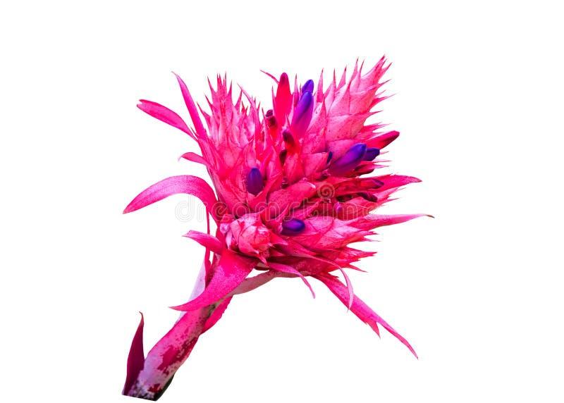 在白色背景隔绝的五颜六色桃红色Bromeliad花 免版税库存照片