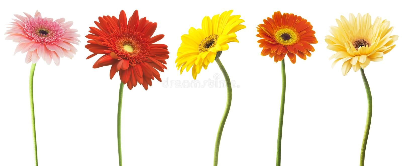 在白色背景隔绝的五颜六色的大丁草花大丁草jamesonii的大选择 各种各样红色,黄色,橙色,桃红色 免版税库存图片