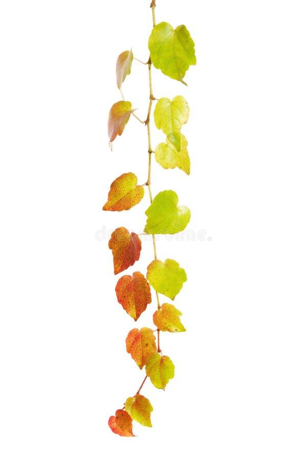 在白色背景隔绝的五颜六色的酒卷须 秋天、装饰和农业概念 库存图片