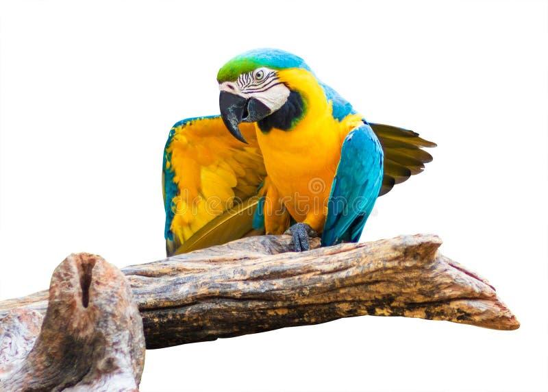 在白色背景隔绝的五颜六色的鹦鹉鸟 蓝色和金子在分支的Marcaw 库存照片