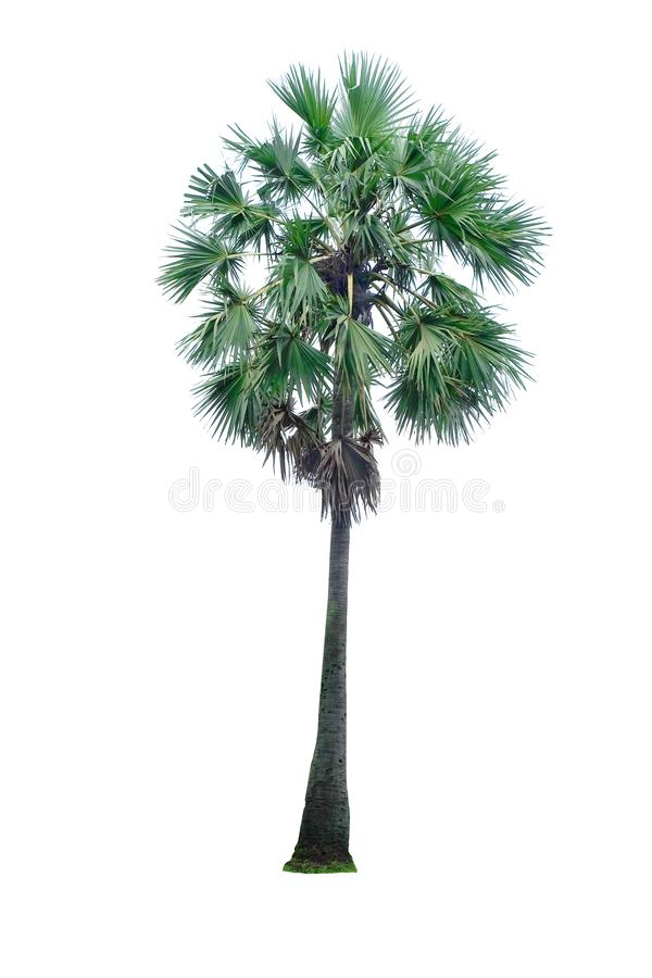 在白色背景隔绝的亚洲扇叶树头榈棕榈 库存照片
