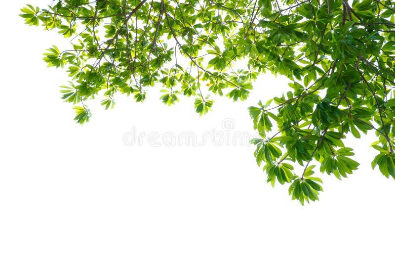 在白色背景隔绝的亚洲热带绿色叶子 库存图片