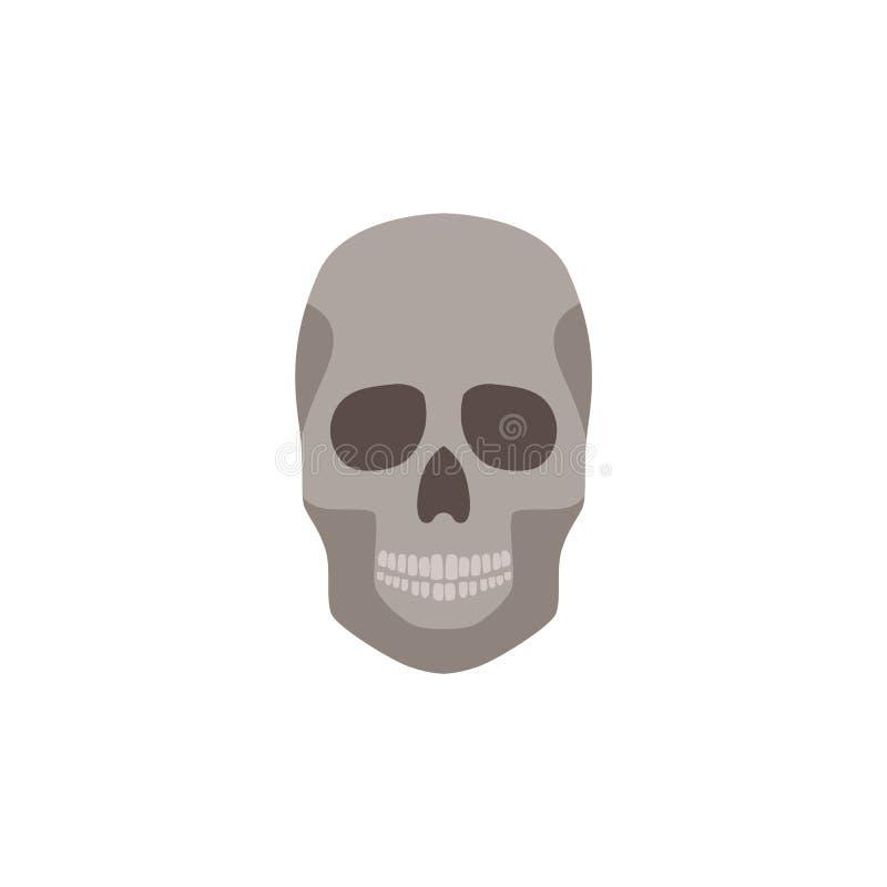 在白色背景隔绝的人的头骨解剖上正确正面图平的传染媒介例证 向量例证