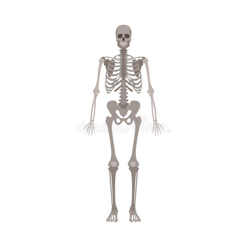 在白色背景隔绝的人的最基本的正面图平的传染媒介例证 向量例证