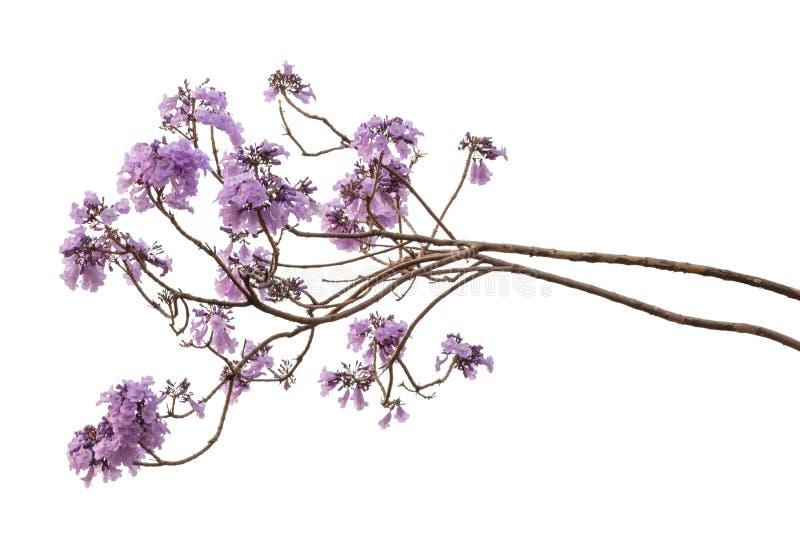 在白色背景隔绝的兰花楹属植物花 库存图片