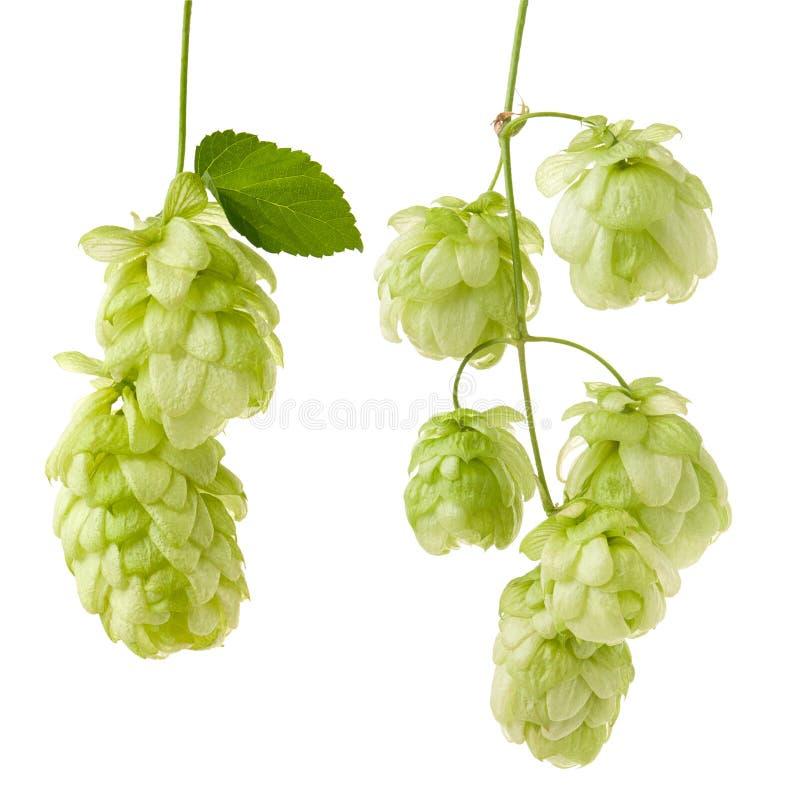 在白色背景隔绝的分支的成熟绿色啤酒花球果树作为成套设计的细节,特写镜头 免版税库存图片