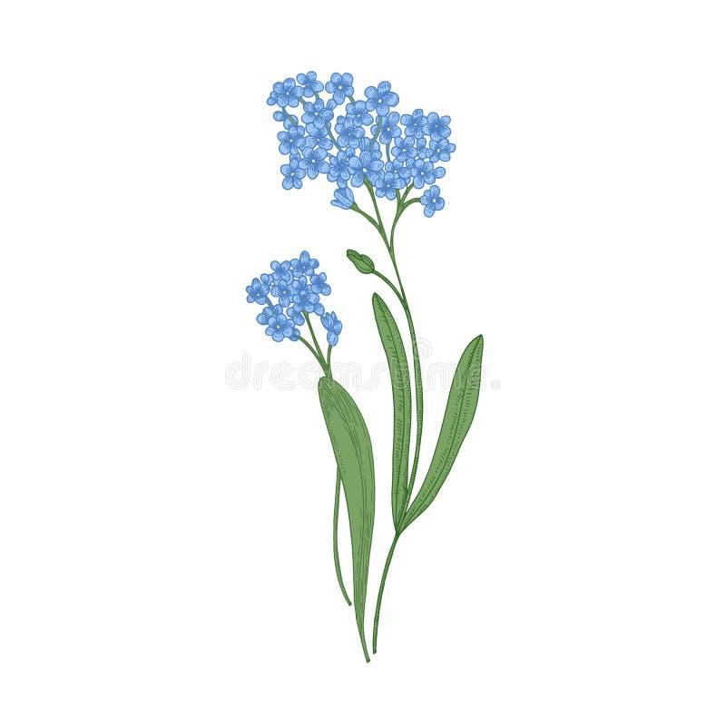 在白色背景隔绝的勿忘草花 野生四季不断的草本开花植物细部图  手 向量例证