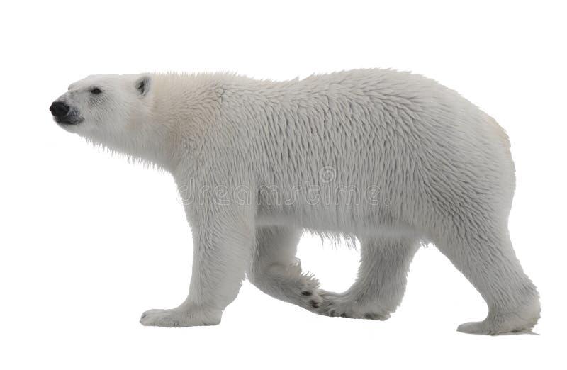 在背景白色隔绝的北极熊.拉菲草蝴蝶结制作方法图片
