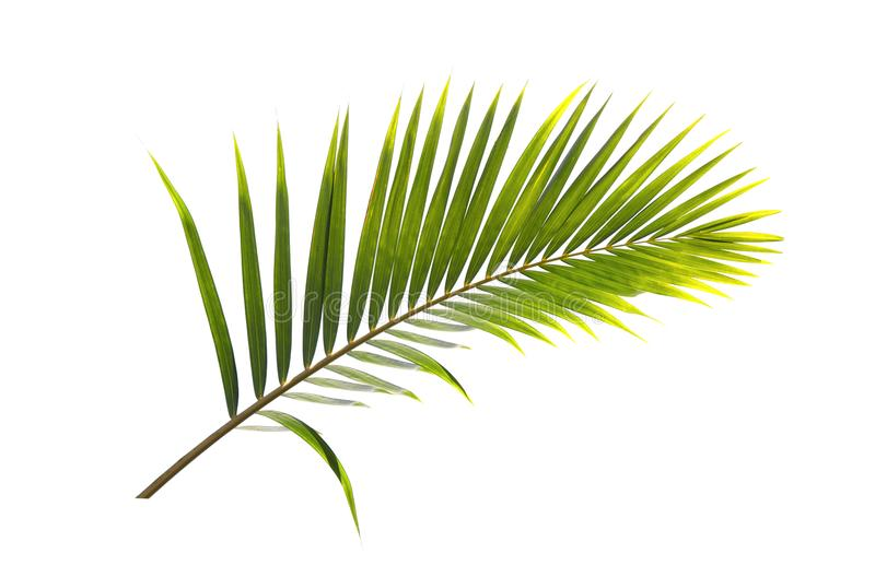 在白色背景隔绝的可可椰子树绿色叶子  免版税库存照片