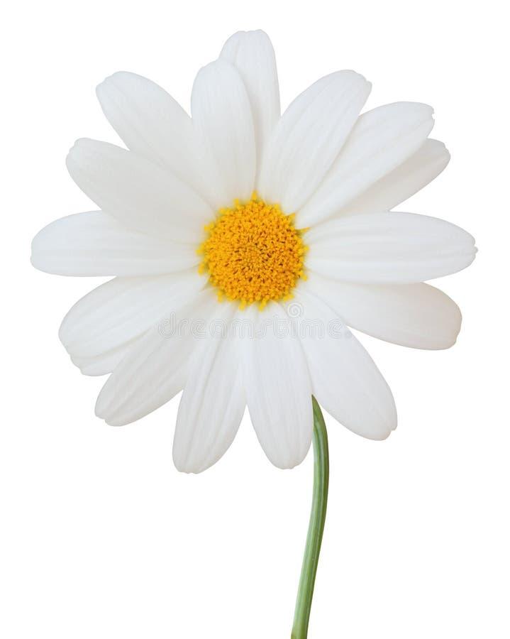 在白色背景隔绝的可爱的戴西延命菊 库存照片