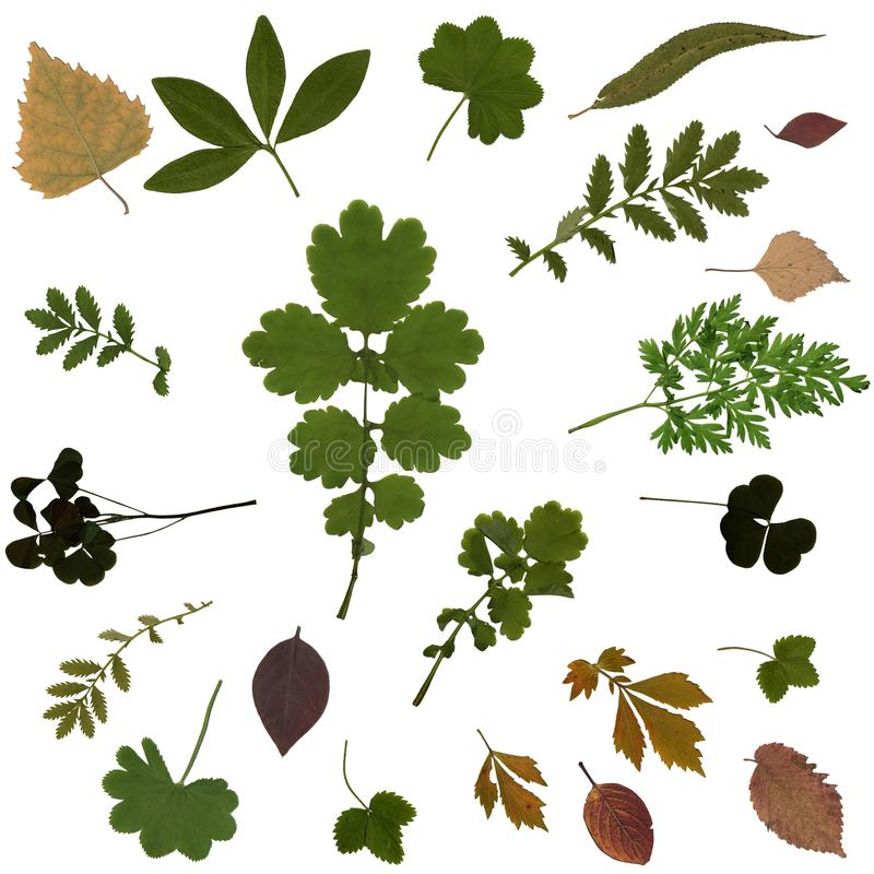 在白色背景隔绝的各种各样的植物被按的干干燥标本集  库存图片