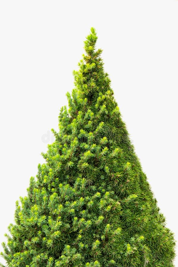 在白色背景隔绝的圣诞树,不用任何装饰 免版税库存图片
