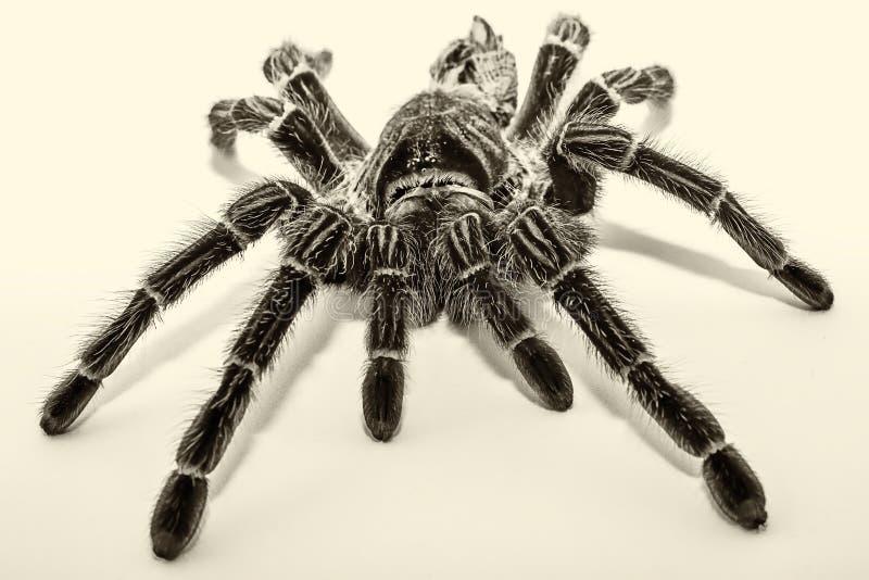 在白色背景隔绝的墨西哥redknee塔兰图拉毒蛛Brachypelma smithi 免版税库存照片