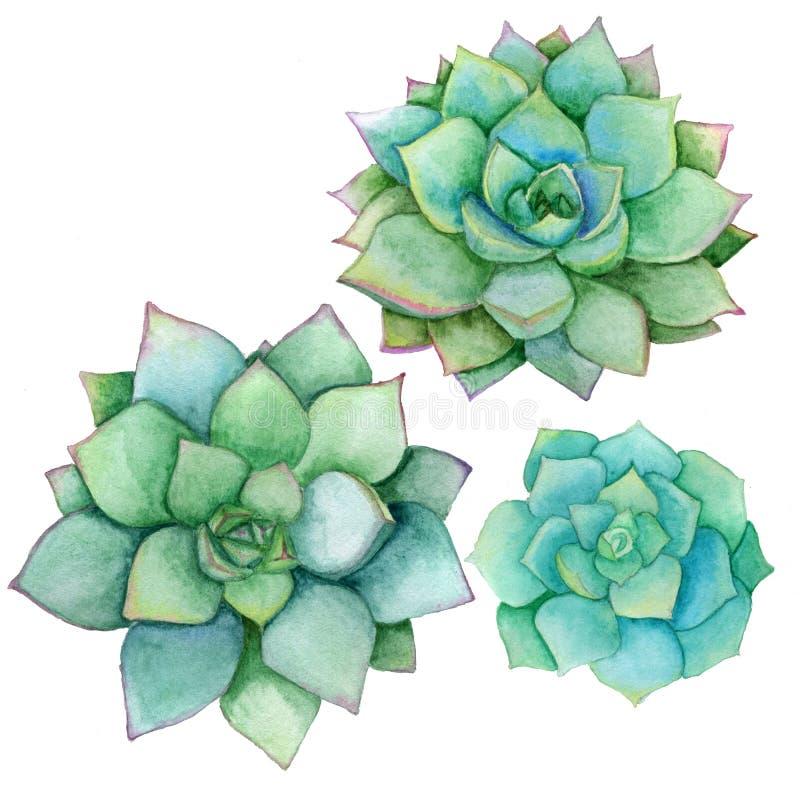 在白色背景隔绝的多汁植物集合 水彩手拉的例证 为卡片完善,婚姻邀请 皇族释放例证
