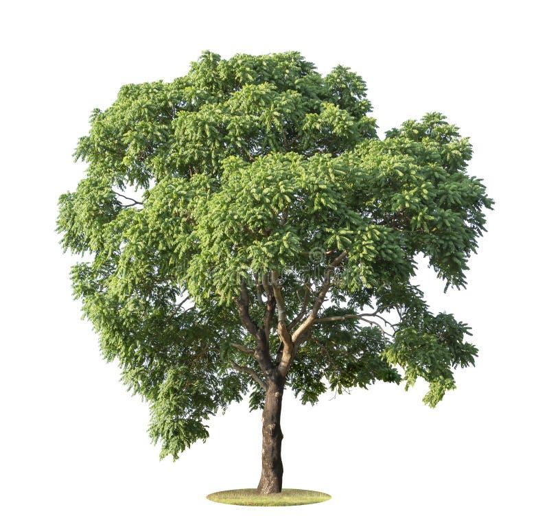 在白色背景隔绝的大和绿色树 美丽和健壮树在森林、庭院或者公园里增长 免版税库存图片