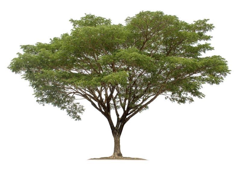在白色背景隔绝的大树 库存图片
