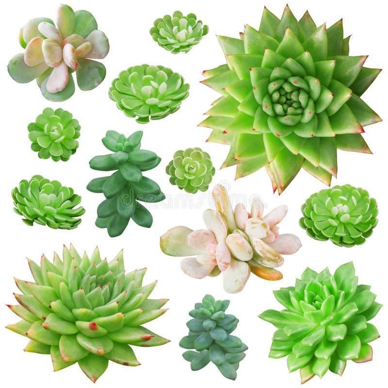 在白色背景隔绝的套不同的多汁植物 免版税库存照片