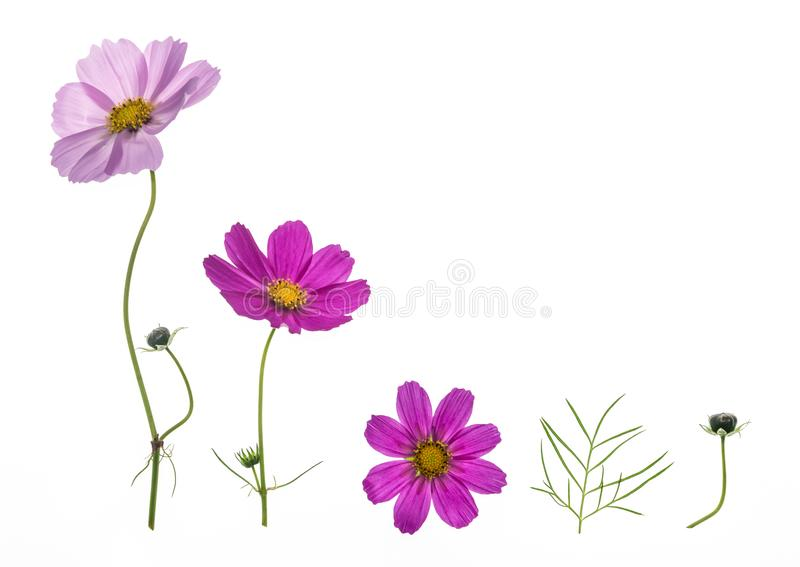 在白色背景隔绝的套桃红色和紫色波斯菊花 免版税库存照片