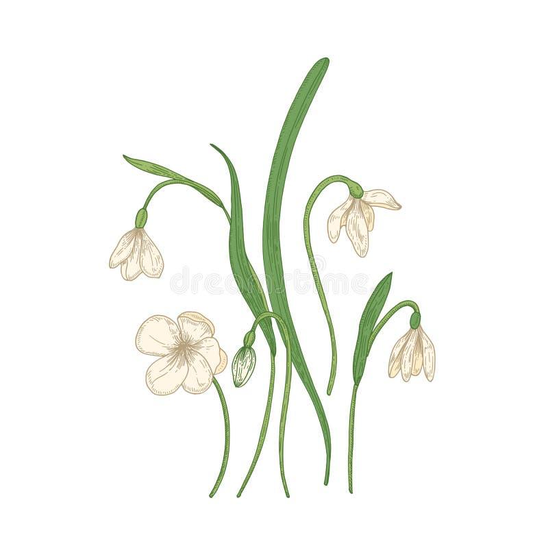 在白色背景隔绝的嫩snowdrop花 春天森林地野生四季不断的开花植物细部图  皇族释放例证