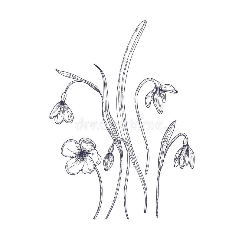 在白色背景隔绝的嫩snowdrop花 春天森林地野生四季不断的开花植物细部图  库存例证