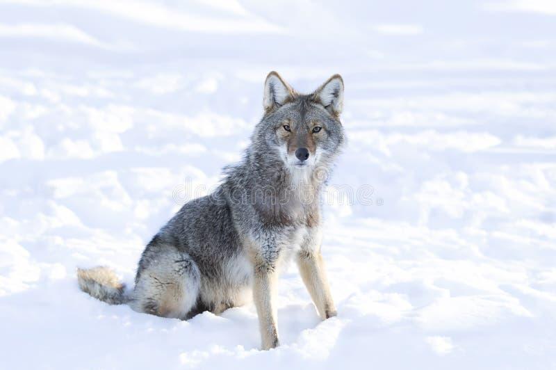 在白色背景隔绝的孤立土狼犬属latrans走和寻找在冬天雪在加拿大 免版税库存照片