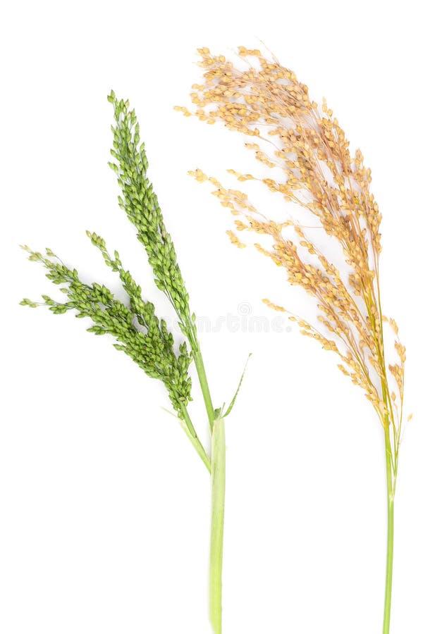 在白色背景隔绝的小米的绿色和黄色耳朵 免版税库存图片