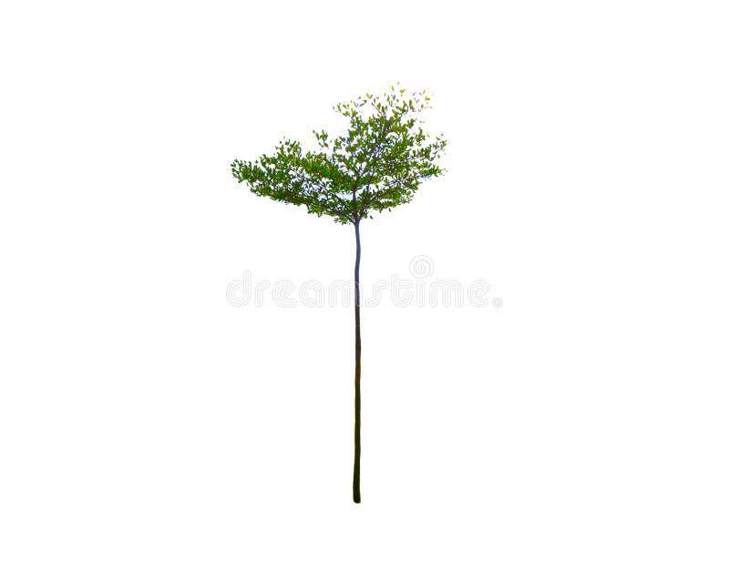 在白色背景隔绝的小高被整理的绿色树 免版税库存图片
