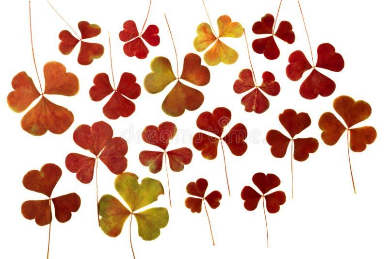在白色背景隔绝的布朗干燥被按的三叶草叶子 干燥标本集 用于scrapbooking, floristry或oshibana 免版税库存照片