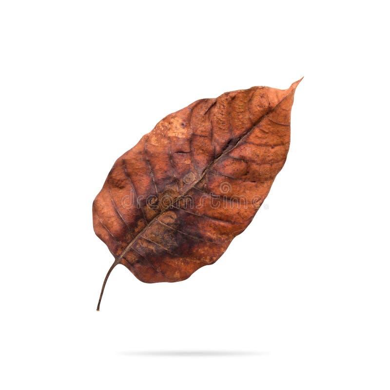 在白色背景隔绝的干燥叶子 r r 免版税库存图片