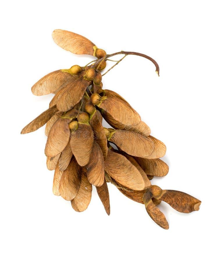 在白色背景隔绝的干燥槭树种子 库存图片