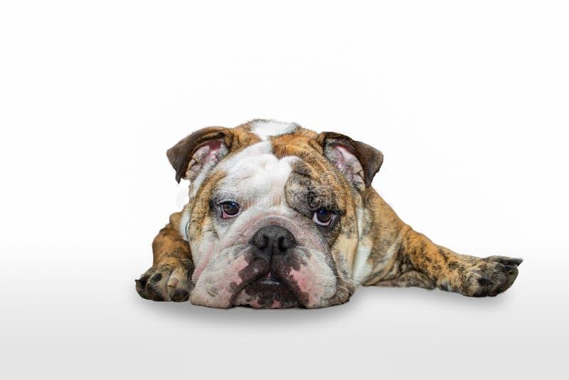 在白色背景隔绝的年轻英国牛头犬睡觉 免版税库存照片