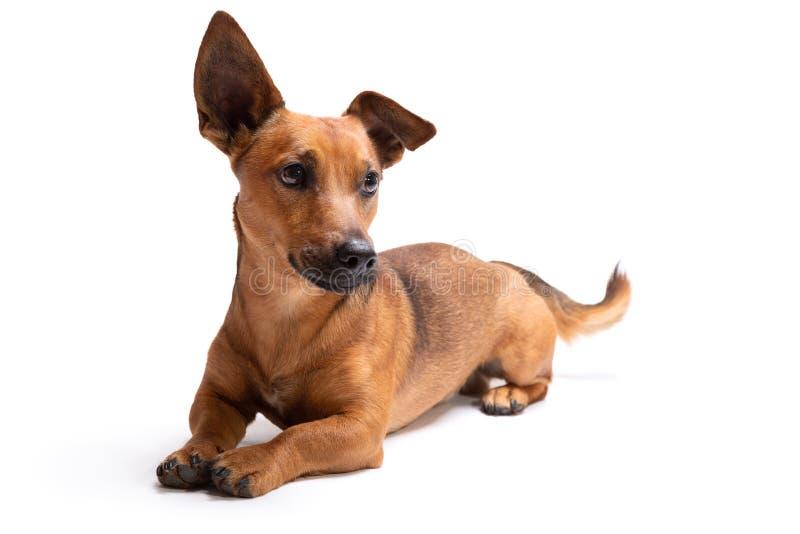 在白色背景隔绝的幼小和小棕色狗 免版税库存图片