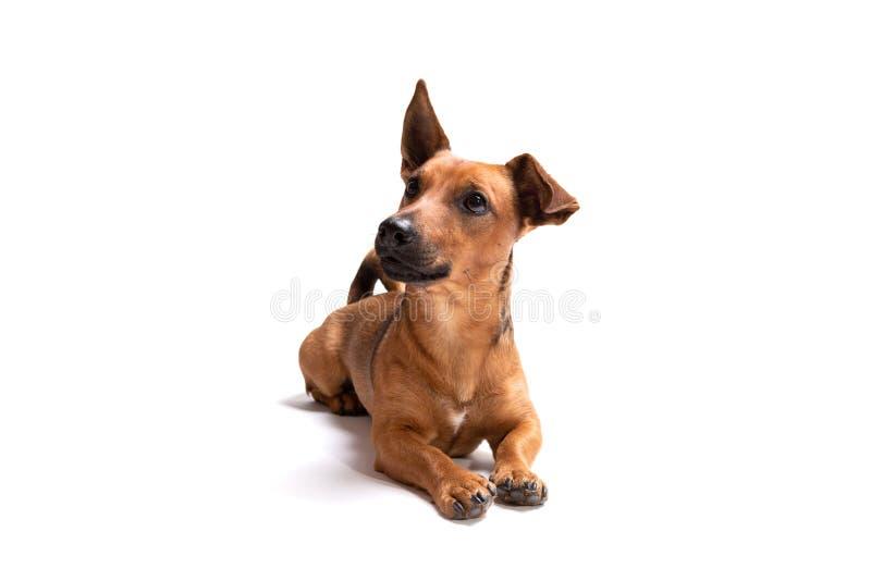 在白色背景隔绝的幼小和小棕色狗 免版税库存照片