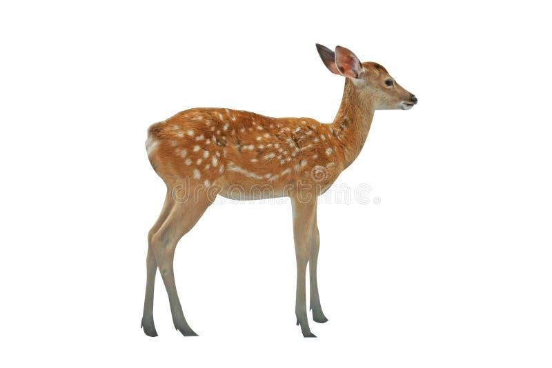 在白色背景隔绝的幼小鹿 库存图片