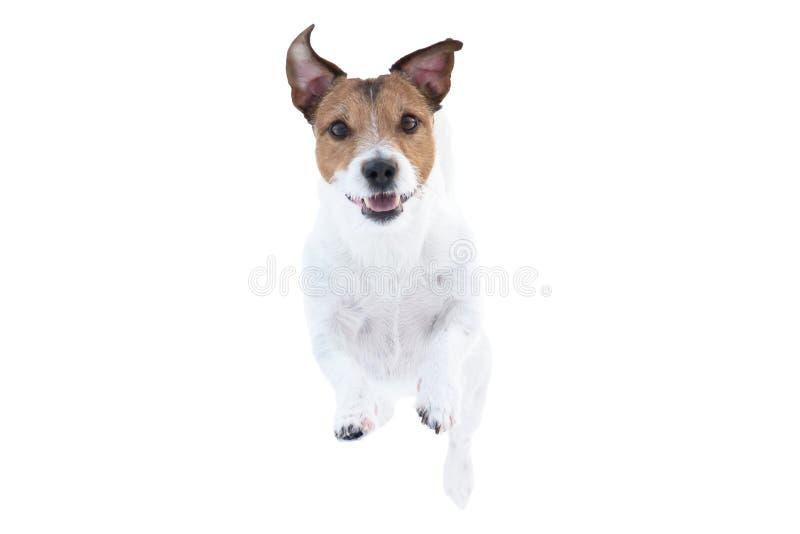 在白色背景隔绝的愉快的杰克罗素狗狗跑和跳跃直接往照相机 免版税库存照片