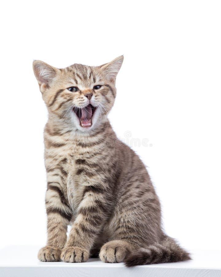在白色背景隔绝的打呵欠的小灰色猫小猫 免版税图库摄影