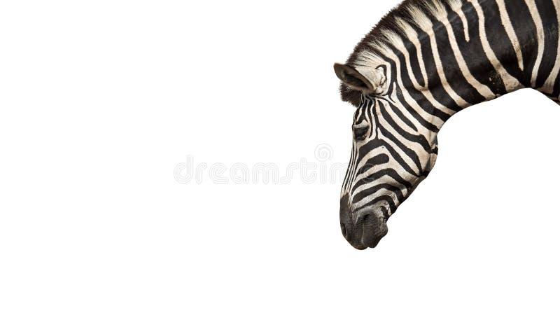 在白色背景隔绝的斑马头,裁减路线 免版税图库摄影