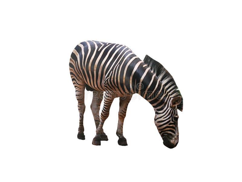 在白色背景隔绝的斑马 免版税库存图片
