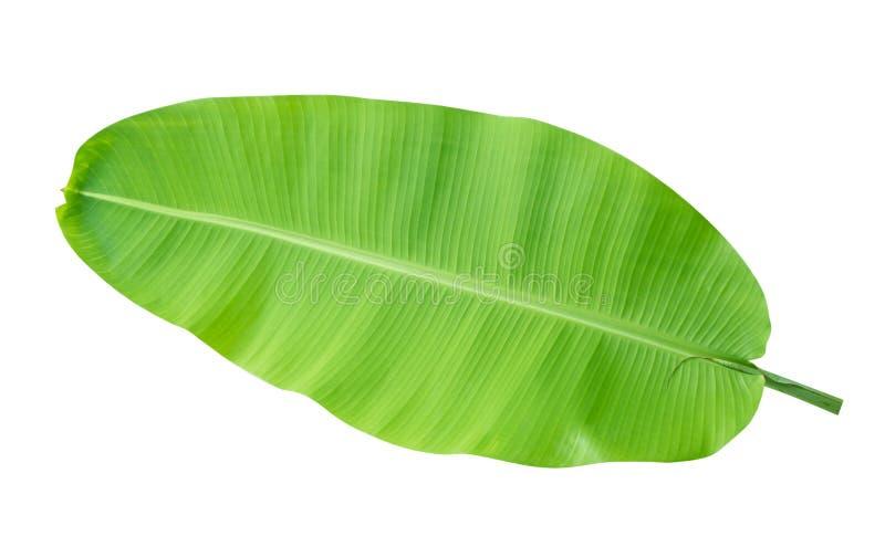 在白色背景隔绝的新鲜的绿色热带香蕉叶子,道路 免版税库存照片