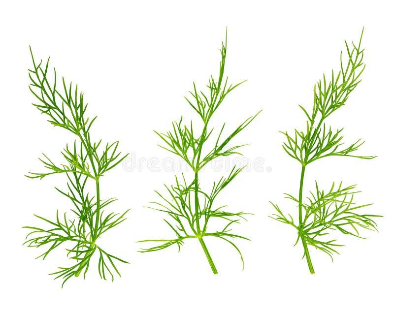 在白色背景隔绝的新鲜的莳萝草本 向量例证
