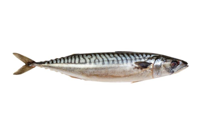 在白色背景隔绝的新鲜的鲭鱼鱼 库存照片